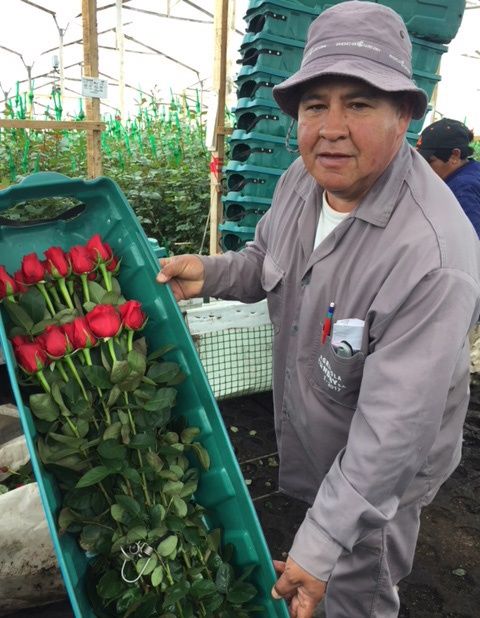 rose grower colombia wholesale
