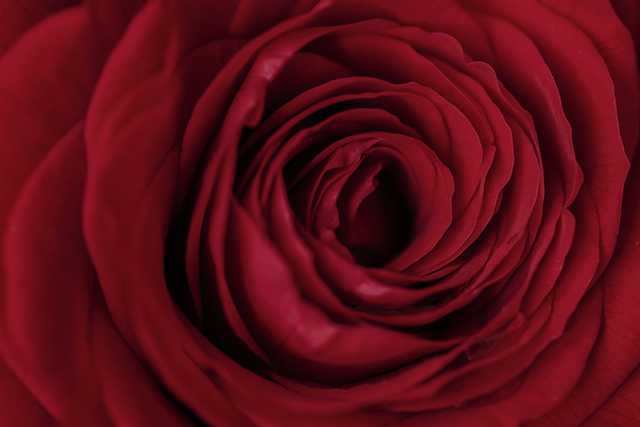 A close up of a dark red rose