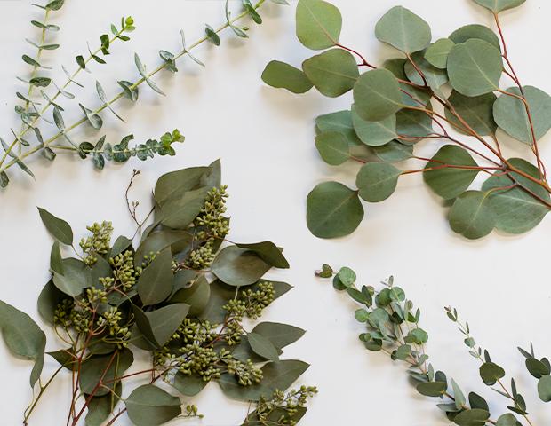 eucalyptus-varieties