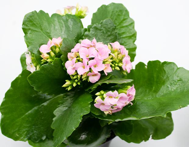 vday-plant