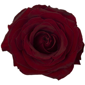 A Black Pearl, Dark Red Rose