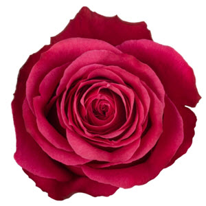 """Cherry O Hot Pink"" Rose"