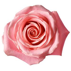 """""""Hermosa Pink"""" Rose"""