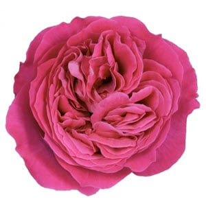 """Kate Hot Pink"" Rose"