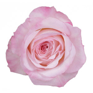 """Keira Light Pink"" Rose"