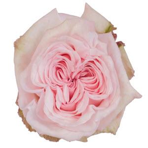 """""""Ohara Light Pink"""" Rose"""