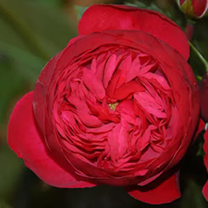 Rose Garden Piano Red Rose