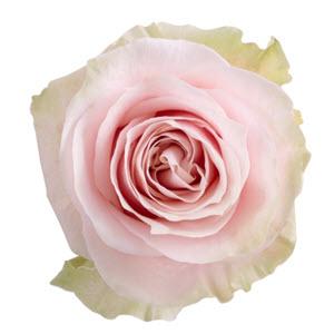 """""""Pink Mondial"""" Rose"""