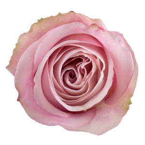 """Secret Garden Light Pink"" Rose"