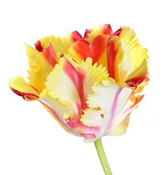 parrot_tulip_orange